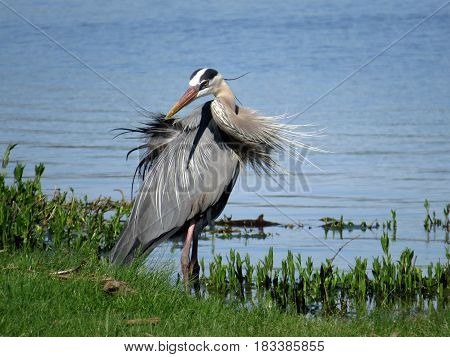 A great blue heron stands in the edge of a lake with its plumage blown by the wind. poster
