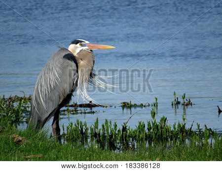 A great blue heron stands in the edge of a lake with its plumage blown by the wind.