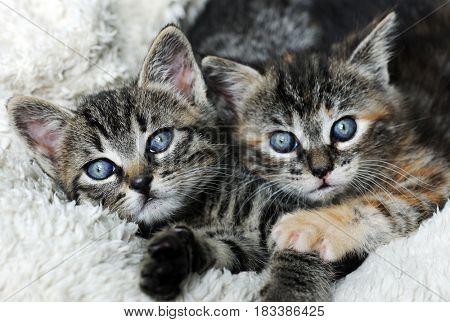 cute grey kittens