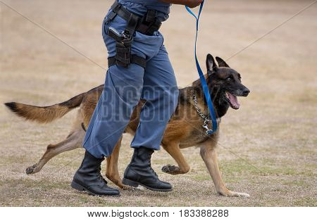 Alert police dog running with it's handler