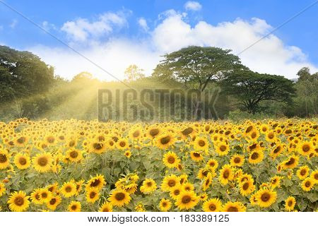 Field of sunflowers and big tree with sunrays