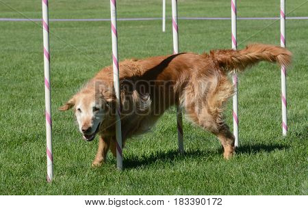 Older Golden Retriever waving through weave poles on dog agility course