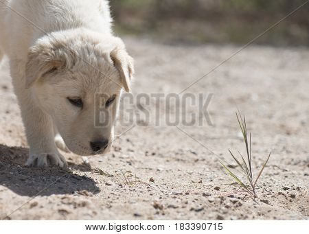 inquisitive young puppy exploring the outside for the first time golden in color no lead sniffing the plants and soil with the background faded to ad copy space