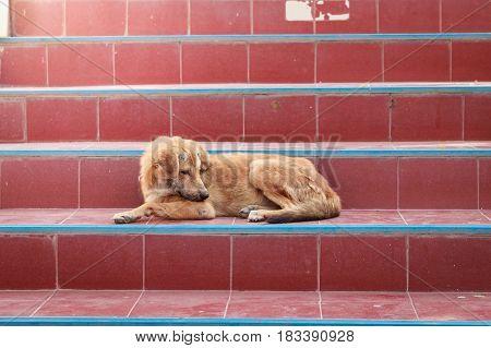 Homeless Brown Dog Sleep On Stairway Look Lonely