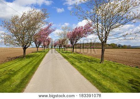 Avenue Of Springtime Cherry Trees