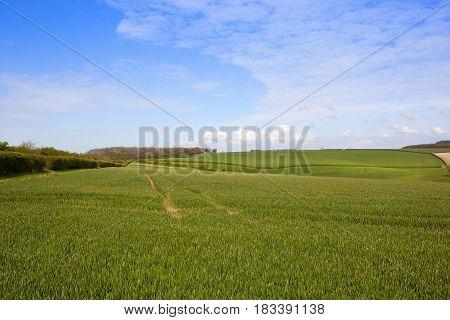 Green Wheat Fields In Springtime