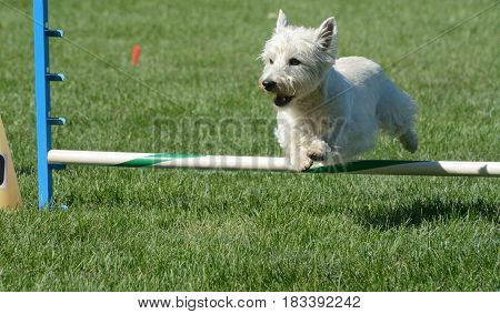West Highland White terrier jumping over jump of dog agility course