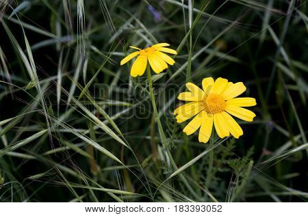 Yellow marguerite plants with fresh blooming flowers in the field