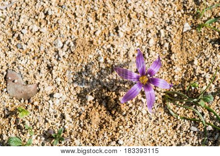 Fresh Sand crocus or Romulea Clusiana flower from the wild flowers species of Cyprus