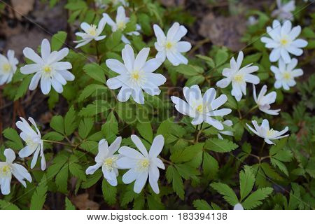 White wood anemone flowers in Siberian taiga forest in spring.