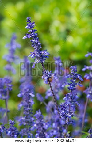 Blue Salvia (salvia farinacea) blooming in the garden