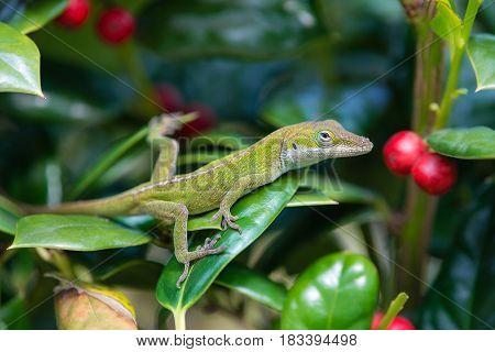 Young Green Anole lizard (Anolis carolinensis) hiding in the garden shrubs