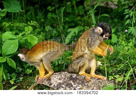 Two squirrel monkeys (Saimiri) looking for something to eat. La Vallée des Singes France.