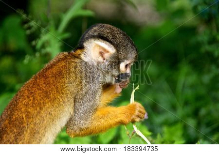 Squirrel monkey (Saimiri) eating. La Vallée des Singes France.