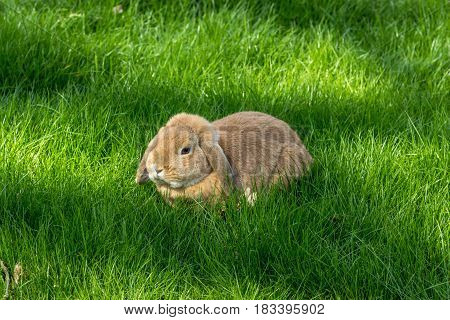 Brown Bunny Rabbit On A Green Grass Meadow