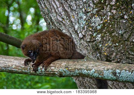 Red-bellied maki (Eulemur rubriventer) on a tree branch. La Vallée des Singes Romagne France.