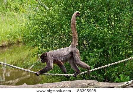 Woolly monkey (Lagothrix lagotricha) walking on a rope. La Vallée des Singes Romagne France.