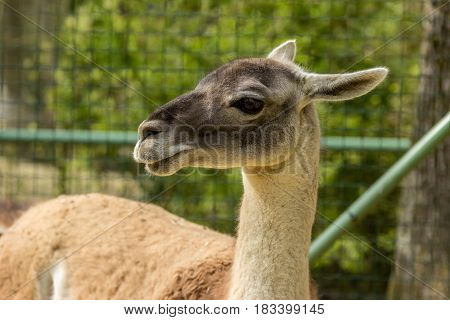 Close-up Of A Guanaco  On A Park