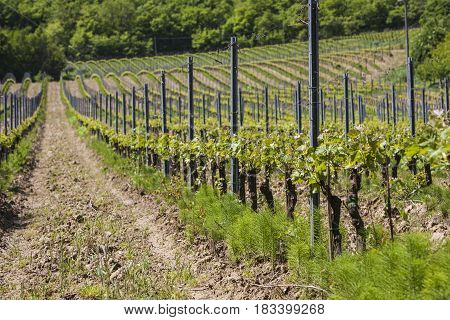 Vineyard in Val d'Orcia in Tuscany, Italy