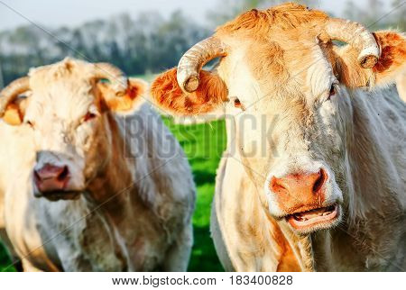 Two Blonde Of Aquitaine Pedigree Cows In A Green Natural Meadow