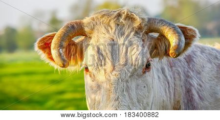 Head Of Blonde Aquitaine Pedigree Cow In A Green Natural Meadow. Banner