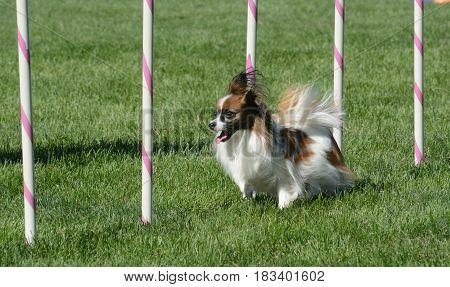 Papillon dog weaving through weave poles on dog agility course