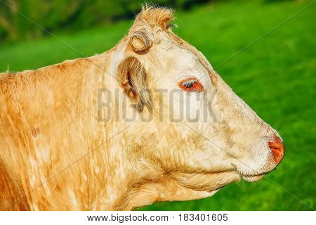 Head Of Blonde Of Aquitaine Pedigree Cow In A Green Natural Meadow.