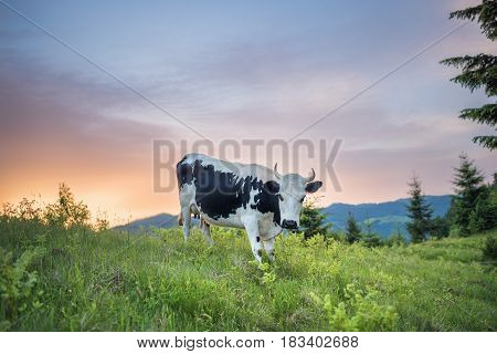 Cow on a mountain meadow on a pasture in summer at sunrise. Cow on a green grass in a mountain village. Mountain landscape with cow and sunrise