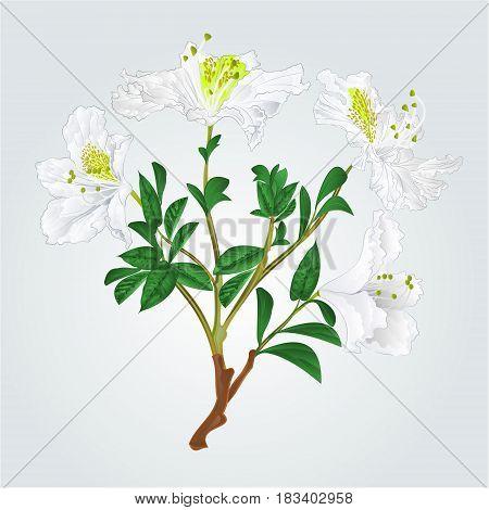 White rhododendron branch mountain shrub vintage vector illustration