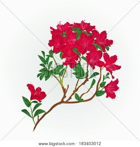 Red rhododendron branch mountain shrub vintage vector illustration