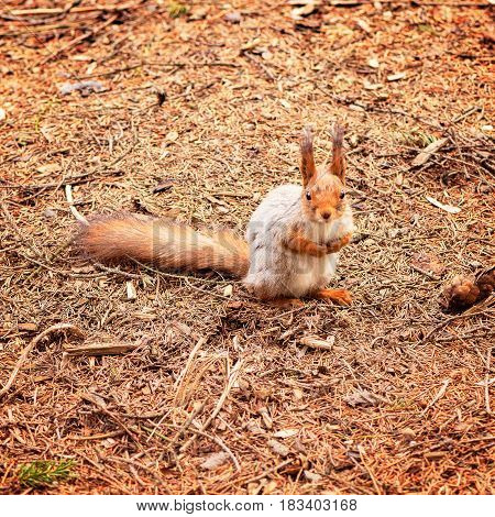 Small squirrel sits on the forest ground.