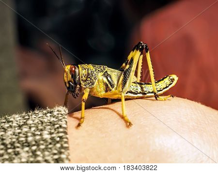 Locust Of Black And Yellow Color Sits On The Hand