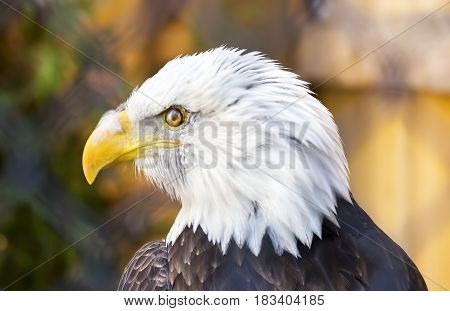 Bald Eagle looking to left perfect profile of feathery face and beak wildlife and patriotism concepts