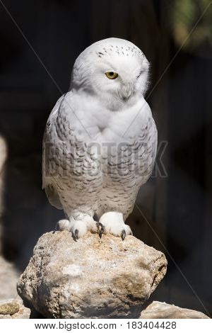 Beautiful white snowy owl perched on a rock looking with interest at something on his left