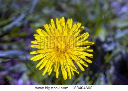 Closeup of yellow spring dandelion standing tall above purple and blue wildflowers top view