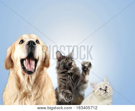 Cat and dog together, neva masquerade kitten, golden retriever looks at right.
