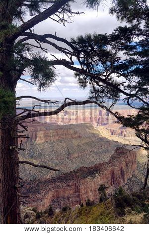 Pine tree with the Grand Canyon in the background from the North Rim