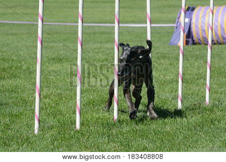 Catahoula leopard dog waving though weave poles on agility course