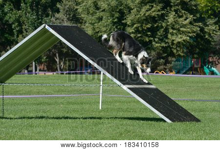 Border collie slowing down and inching towards the contact zone on A-frame in dog agility course