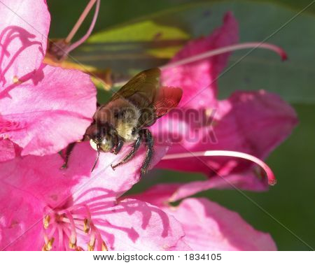 The Bee In The Weigela Tree.
