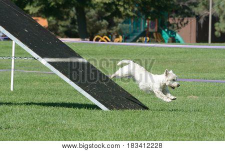 West Highland White Terrier dog on Aframe on dog agility course
