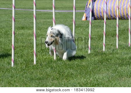 Older Australian Shepherd weaving through weave poles on dog agility course poster
