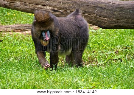 Male mandrill (Mandrillus sphinx) looking for food. La Vallée des Singes Romagne France.