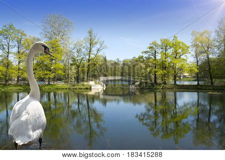 Swan on the bank of the lake in the solar morning the bridge and the wood on a background
