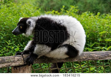 Black-and-white ruffed lemur (Varecia variegata) sitting. La Valleé des Singes Romagne France.