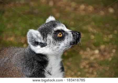 Ring-tailed lemur (lemur catta) portrait. La Vallée des Singes Romagne France.