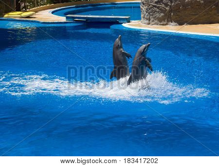 dolphins frolic in the blue clear water selective focus
