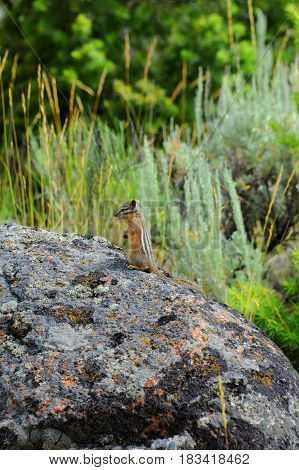 Chipmunk sits on a rock on the trail to Tower Falls in Yellowstone National Park.