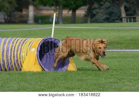 Golden retriever dog exiting tunnel on dog agility course