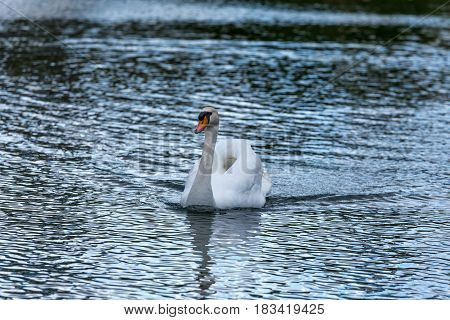 Swan Swimming On The Bright Water Of A European Lake - Front View